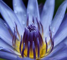 Fiji Water Lilly by David Wojcik
