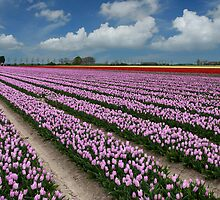 Tulips on Flakkee by Adri  Padmos