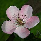 Apple blossom by annalisa bianchetti