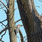 Northern Flicker by Susan S. Kline