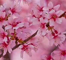 Bathed in Pink - Cherry Blossoms by Lee Hiller