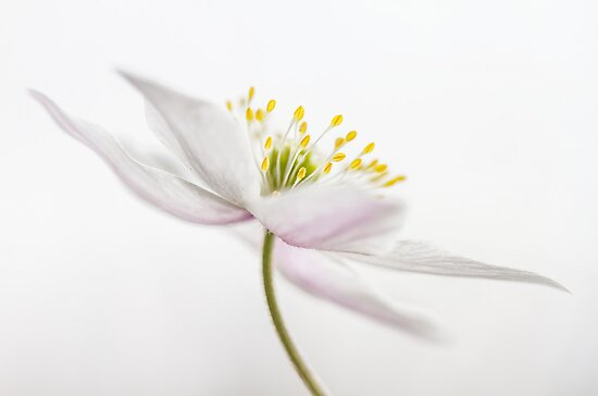 Spring Wood Anemone by Mandy Disher