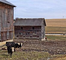 We are happy cows by vigor