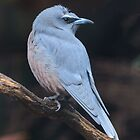 Black Faced Woodswallow by Steve Randall