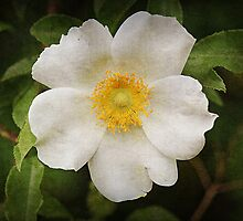 Cherokee Rose by Rose Cavaco