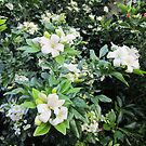 Mock Orange with Jasmine scented flowers by Albert