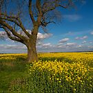 Tree in a field of rape. by naranzaria