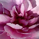 Delicate petals by annalisa bianchetti