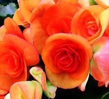 Orange Begonia by James Brotherton