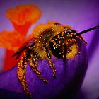 Bee on Spring Crocus #11  by Kane Slater