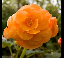 Orange flower  by eisblume