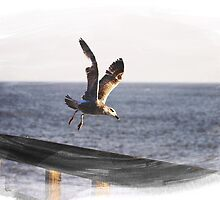 Gull in Flight by liberthine01