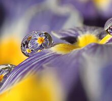 Primrose water drops by Lyn Evans
