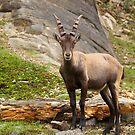 Alpine Ibex by vette