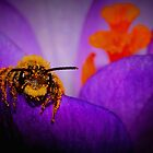 Bee on Spring Crocus #4  by Kane Slater