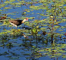 Comb-crested Jacana by JLOPhotography