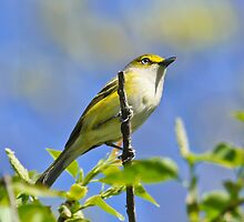 White-Eyed Vireo by Lee Hiller