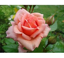 Pink Rose in Bloom Photographic Print