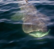 Basking Shark by damhotpepper