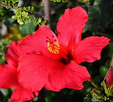 Red Hibiscus flower by LemonMeringue