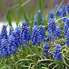 Grape Hyacinth  by Susan S. Kline