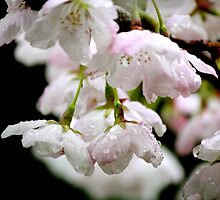 Cherry flower by picoftheday
