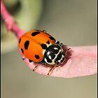 Orange Ladybeetle by Helenvandy
