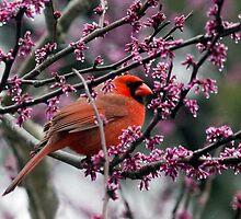 Northern Cardinal (Cardinalis cardinalis) by Liam Wolff