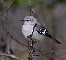 Northern Mockingbird (Mimus polyglottos) by Liam Wolff