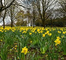Daffodils by Stevie B