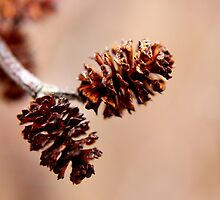 Mature Female Catkins on an Alder by Kathleen M. Daley