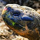 Large Galapagos Giant Tortoise by Al Bourassa