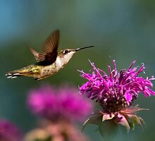 Hummingbird Moving Along by Christina Rollo
