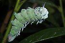 Caterpillar Attacus Atlas by Jo Nijenhuis