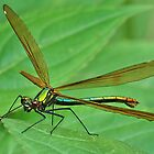 Female Beautiful Demoiselle . [ PVL ] by relayer51