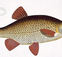 Red Carp (Cyprinus Erithrophthalmus) by Bridgeman Art Library
