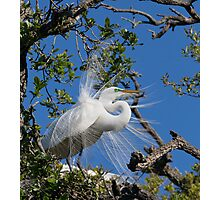 Great Egret Displays Plumage Photographic Print