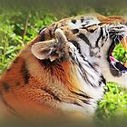 Tiger Tantrums by naturelover