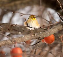 American Goldfinch in Winter by JMcCombie