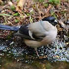 Female Bullfinch by Peter Wiggerman