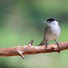 Blackcap - II by Peter Wiggerman