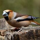Male Hawfinch - I by Peter Wiggerman
