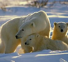 Polar Bear Mother And Cubs Portrait by Oldetimemercan