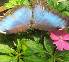 Blue Butterfly  by GleaPhotography