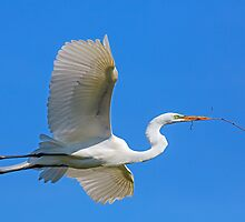 Great Egret Flies with Twig for Nest by Kenneth Keifer