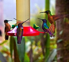 Five Mindo Hummers by Al Bourassa