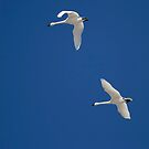 Swans Flying In Blue Skies by Thomas Young