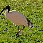 The Sacred Ibis by phil decocco
