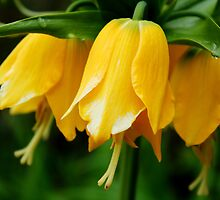 Yellow Crown Imperial by karina5