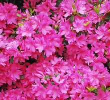 Pink Azalea Flowers by jojobob